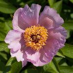 Календарь цветения пионов 2012г 0_6ff4a_bf479bd9_S