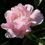 Календарь цветения пионов 2012г 0_6ff6a_e834c7fb_S