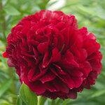Календарь цветения пионов 2012г 0_6ff7d_44c31358_S