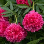 Календарь цветения пионов 2012г 0_6ff9d_a4c92365_S