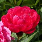 Календарь цветения пионов 2012г 0_6ffa1_23649892_S