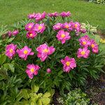 Календарь цветения пионов 2012г 0_6ffa5_241b62ef_S