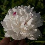 Календарь цветения пионов 2012г 0_6ffa4_949440c1_S