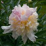 Календарь цветения пионов 2012г 0_6ffb6_b0fde389_S