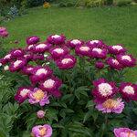Календарь цветения пионов 2012г 0_6ffba_570b115c_S
