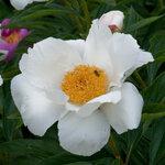 Календарь цветения пионов 2012г 0_6ffc0_57a0b609_S