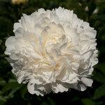 Календарь цветения пионов 2012г 0_6ffd4_1c868141_S