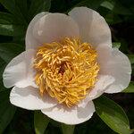 Календарь цветения пионов 2012г 0_6ff64_544ed2cf_S
