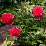 Календарь цветения пионов 2012г 0_6ff85_f84361bf_S