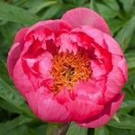 Календарь цветения пионов 2012г 0_6ff8a_ad08e8e8_S