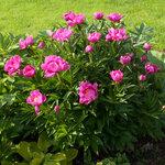 Календарь цветения пионов 2012г 0_6ffa6_f246019c_S