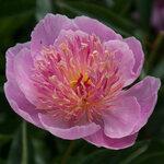 Календарь цветения пионов 2012г 0_6ffae_41540d75_S