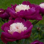 Календарь цветения пионов 2012г 0_6ffbd_7c2ff0cd_S