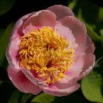 Календарь цветения пионов 2012г 0_6ff4b_3ec8f791_S