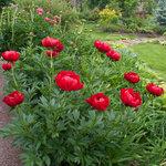 Календарь цветения пионов 2012г 0_6ff7e_5d64b957_S