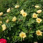 Календарь цветения пионов 2012г 0_6ffa9_ae58f047_S