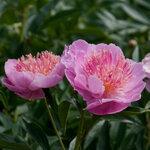 Календарь цветения пионов 2012г 0_6ffad_cfed9fc4_S