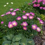Календарь цветения пионов 2012г 0_6ffb0_ebdc12a4_S
