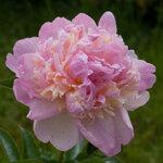 Календарь цветения пионов 2012г 0_6ffcd_a71c77f8_S