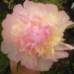 Календарь цветения пионов 2012г 0_6ffce_b52b62f2_S