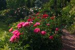 Календарь цветения пионов 2012г 0_6ffe1_be1a94b1_S