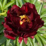Календарь цветения пионов 2012г 0_6ff58_3735cd1f_S
