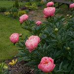 Календарь цветения пионов 2012г 0_6ff77_bea9b384_S