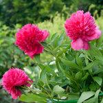 Календарь цветения пионов 2012г 0_6ff89_edf077a6_S