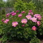 Календарь цветения пионов 2012г 0_6ff56_befc6783_S