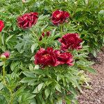 Календарь цветения пионов 2012г 0_6ff5e_afc21182_S