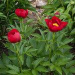 Календарь цветения пионов 2012г 0_6ff66_59eb4203_S