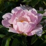 Календарь цветения пионов 2012г 0_6ff6c_fc4936a_S