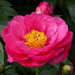Календарь цветения пионов 2012г 0_6ff92_ccd5de42_S