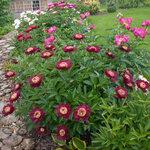 Календарь цветения пионов 2012г 0_6ffb3_15a10fe8_S