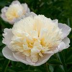Календарь цветения пионов 2012г 0_6ffc9_157d397d_S
