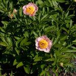 Календарь цветения пионов 2012г 0_6ff4e_49347e23_S