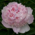 Календарь цветения пионов 2012г 0_6ff74_8f93e8cb_S