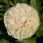 Календарь цветения пионов 2012г 0_6ff3f_18c09361_S