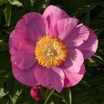 Календарь цветения пионов 2012г 0_6ff52_5d5821a5_S