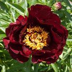 Календарь цветения пионов 2012г 0_6ff59_fc9132b8_S