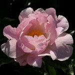 Календарь цветения пионов 2012г 0_6ff6b_a11ec815_S