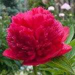 Календарь цветения пионов 2012г 0_6ff87_e31adde9_S