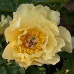 Календарь цветения пионов 2012г 0_6ff98_96111c71_S