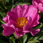 Календарь цветения пионов 2012г 0_6ffa7_1691bceb_S