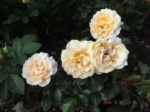 Колорлайн, розы 2013. - Страница 2 0_86a42_9494ca07_M