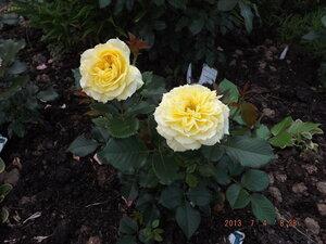 Колорлайн, розы 2013. - Страница 2 0_869bf_66a00e35_M