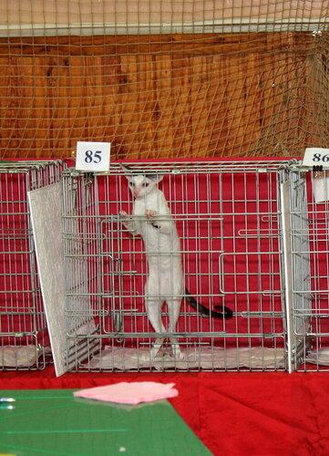 """Международная выставка кошек """"Удивительные кошки"""", 5-6 октября 2013, г. Сургут, ХМАО - Страница 2 0_ddb35_56cbab73_L"""
