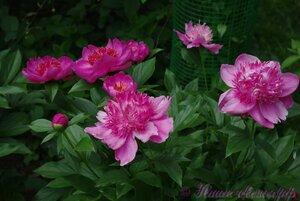 Мы любим цветы - Страница 3 0_9d1f4_32886312_M