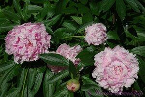 Мы любим цветы - Страница 3 0_9dfa6_7d4a96e6_M