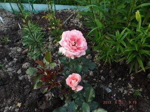 Колорлайн, розы 2013. - Страница 2 0_86a43_18b109b0_M